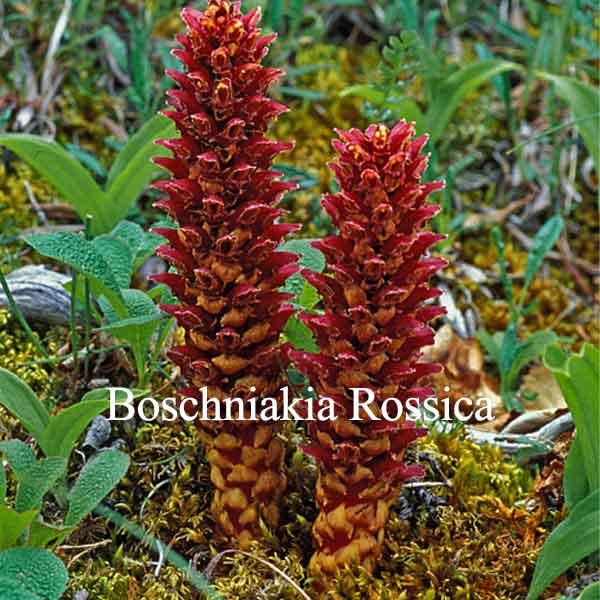 Thành phần Boschniakia rosica có trong cương dương ngựa thái