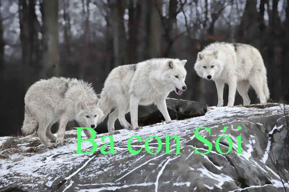 ba con sói là tiếng nói lái của từ Bao cao su- BCS