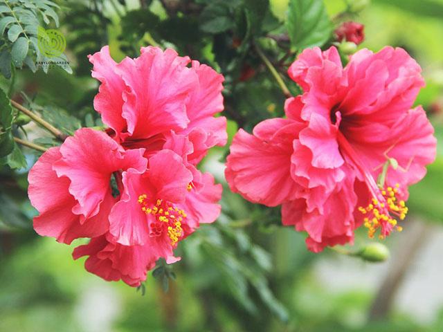làm thuốc kích dục từ hoa hồng và hoa dâm bụt